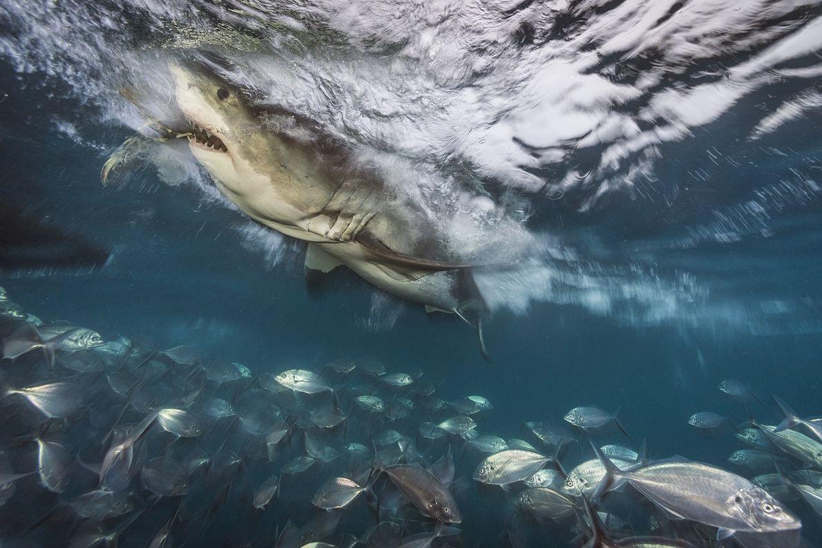A great white shark hunts near the North Neptune Islands, Australia.
