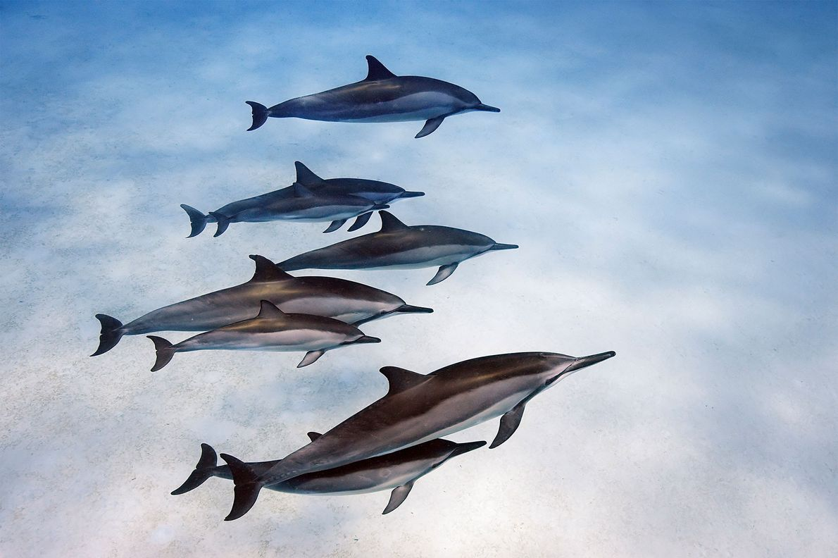 Spinner dolphins off Hawaii display strong social bonds.