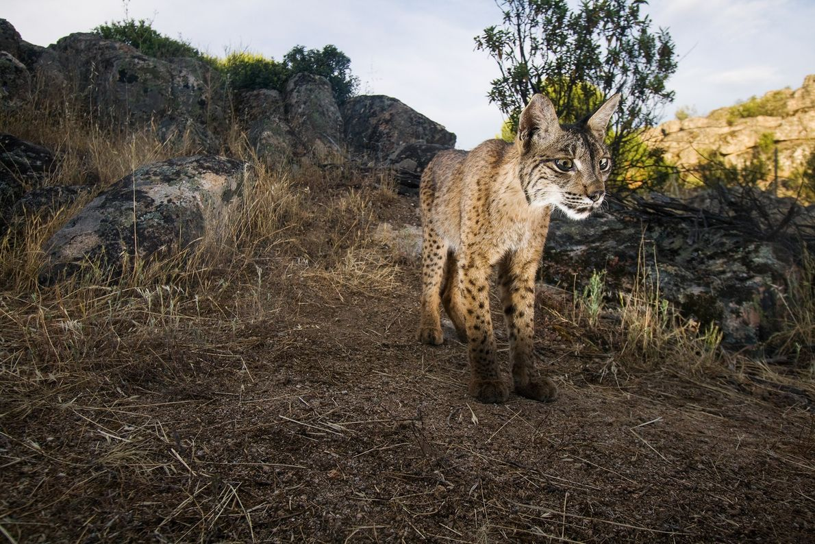 Iberian Lynx - A wild Iberian lynx stands in Sierra de Andújar Natural Park in Andalusia, Spain. The decline in Spain's rabbit population—the lynx's main food source—and habitat loss threaten the lynx's survival - Photograph by Wild Wonders of Europe/Oxford/Naturepl.com