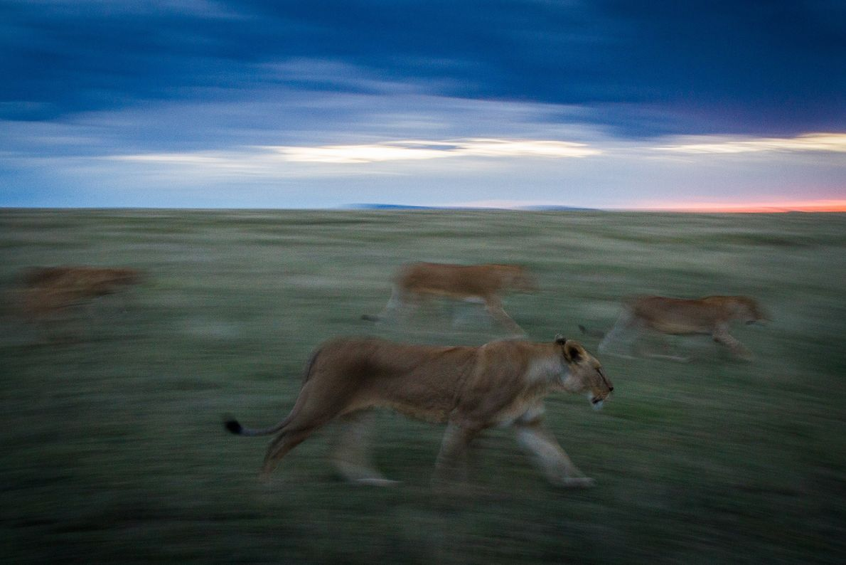 Lions search for prey in Serengeti National Park.