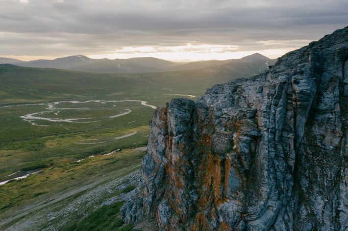 Gyrfalcons and golden eagles compete for nesting spots on cliffs across vast, uninhabited stretches of the ...