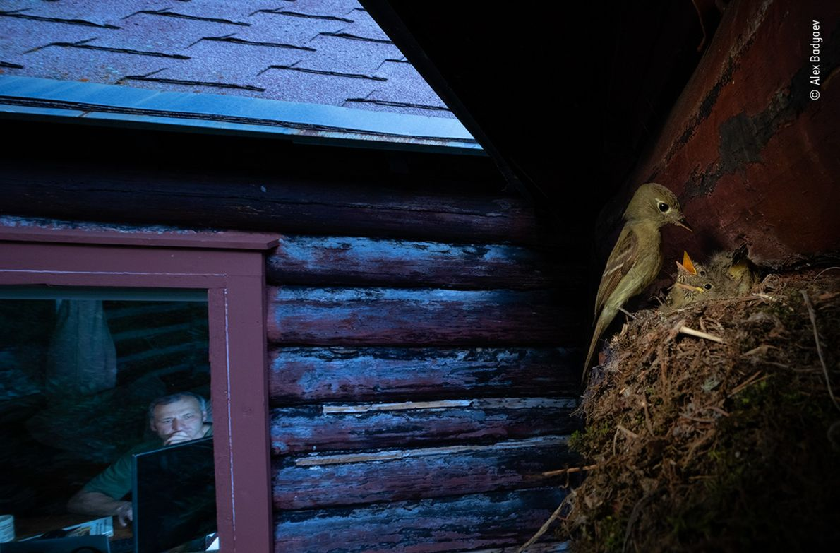 Alex Badyaev, of Russia and the United States, photographed this Cordilleran flycatcher outside of his cabin ...