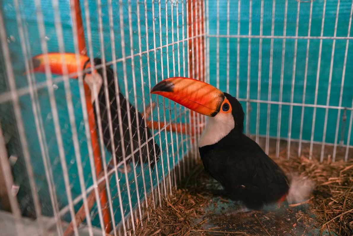 Two toucans found by residents of a nearby community rest inside cages. Severely dehydrated, both had ...