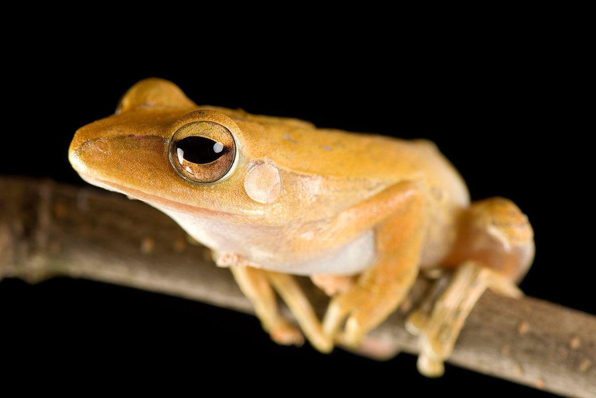A Malaysian golden gliding frog, ('Polypedates leucomystax').