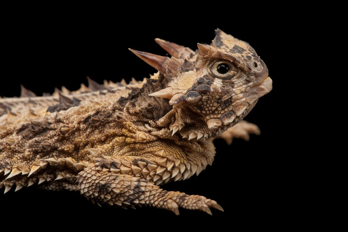 The Texas horned lizard is well-equipped to defend itself against predators. In addition to a set ...