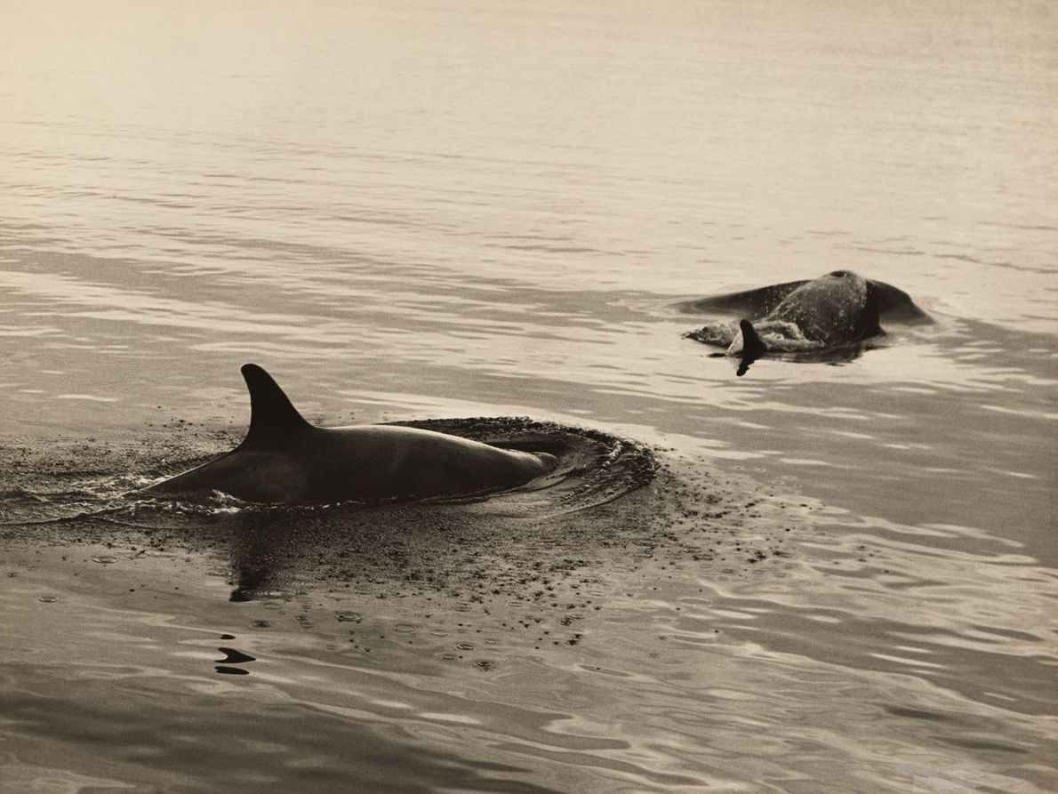 Two killer whales surface for air.