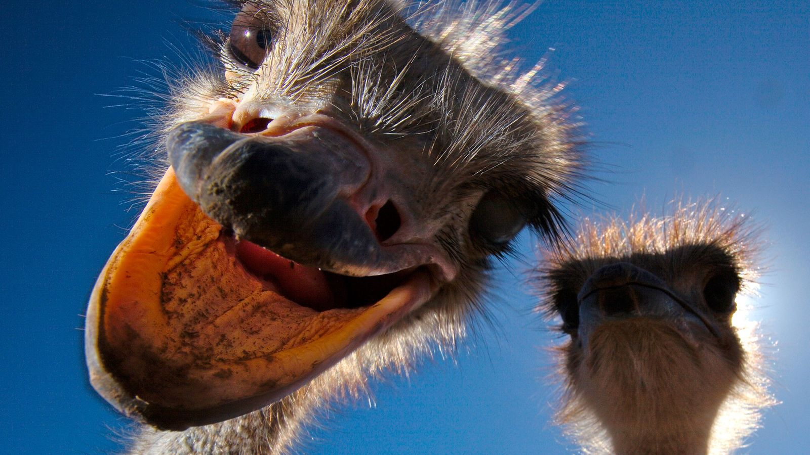 Ostriches, South Africa.