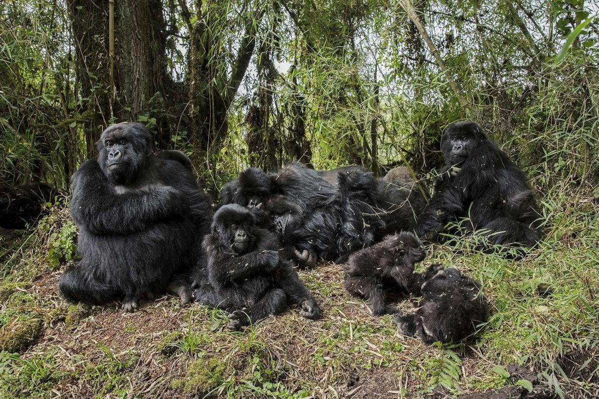 Mountain gorillas rest on high-elevation slopes of Mount Karisimbi, Rwanda.
