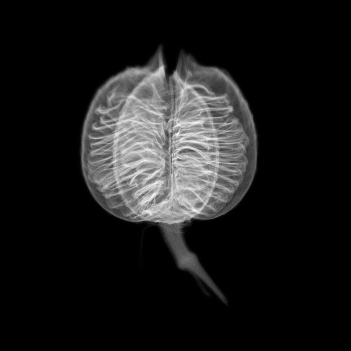 Doherty created this x-ray view of a red yucca seed head because its internal structure reminded ...