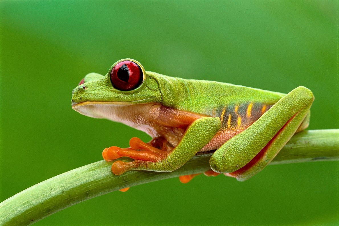 A red-eyed tree frog sits on a stem in Barro Colorado Island, Panama.