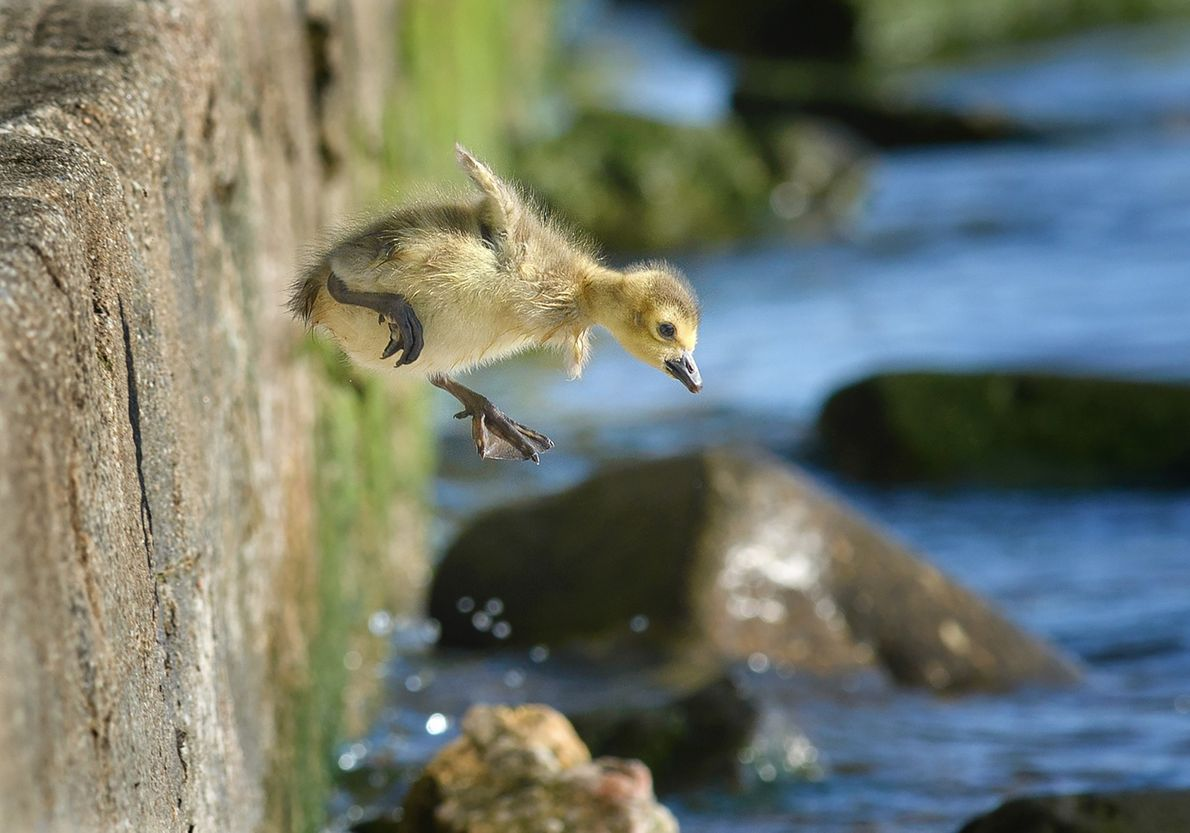 A gosling jumping in to the Hudson River.