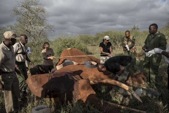 The team prepares to put a collar on a 25-year-old savanna elephant in Tsavo West National ...
