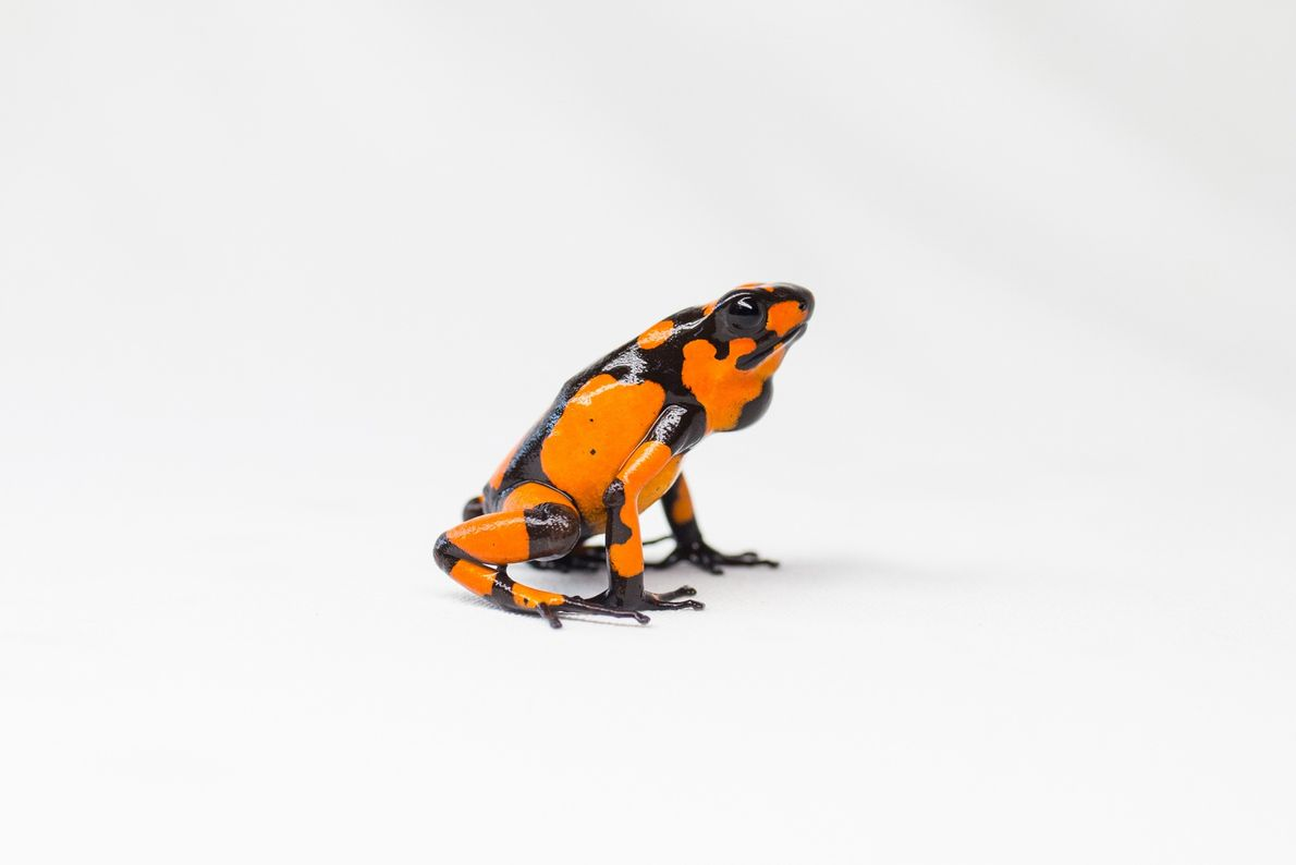 It's difficult to determine the sex of poison dart frogs from their outward appearance. To determine ...