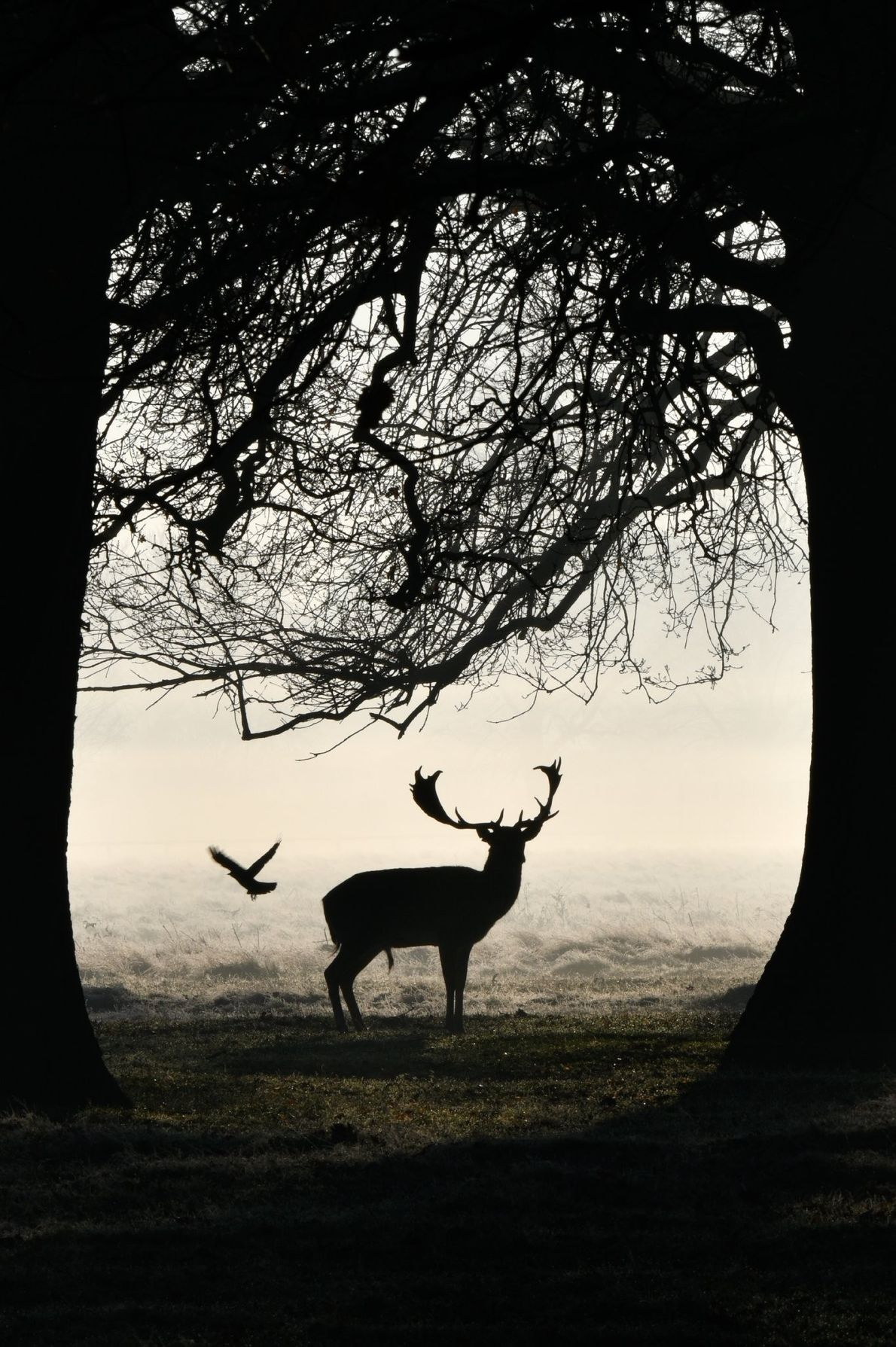 """""""The western jackdaw has gathered enough fur and is off to its nest. The Fallow deer ..."""