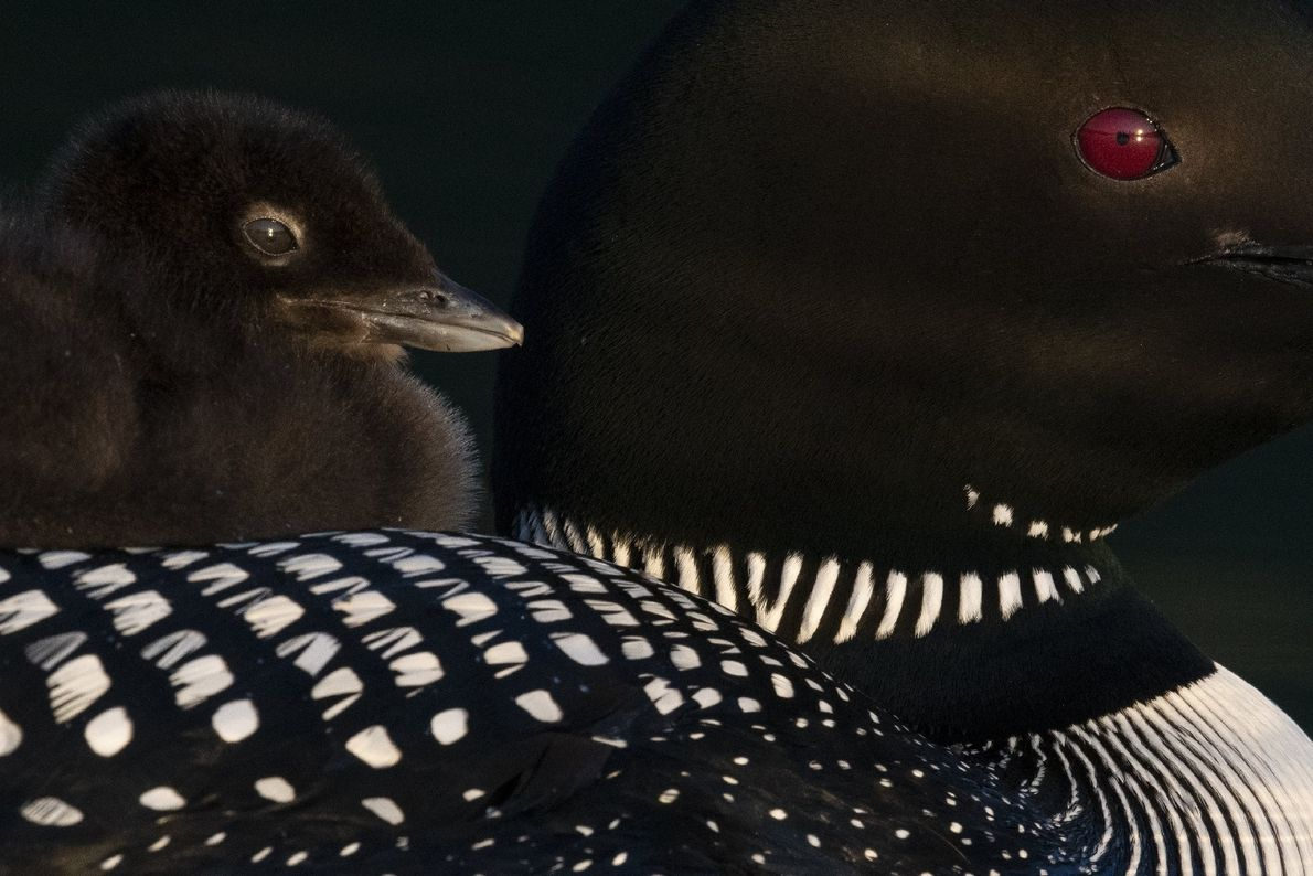 Your Shot photographer Carolina Fraser photographed a Common Loon chick as rests on the back of ...