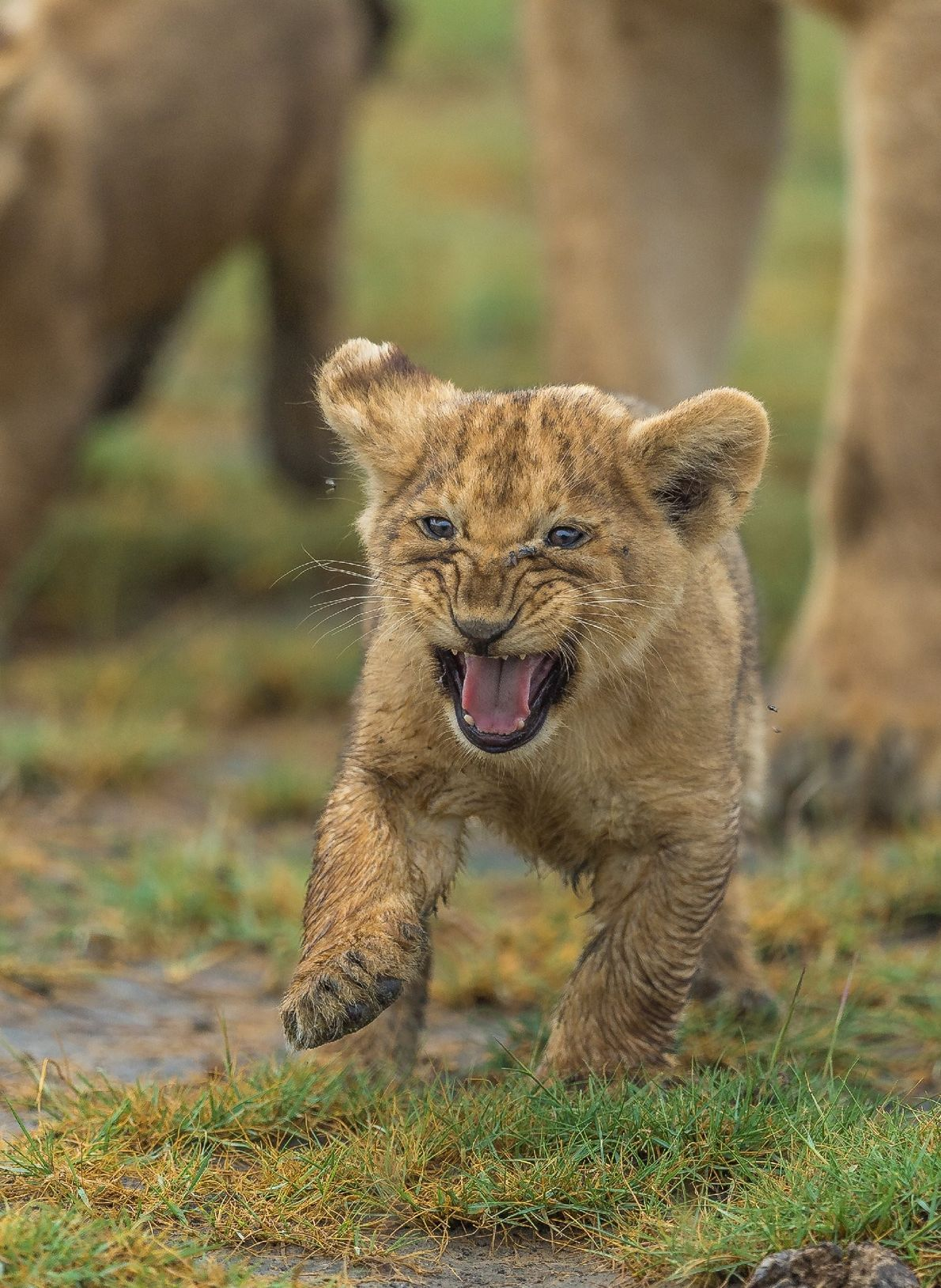 Your Shot photographer Zhayynn James documented this lion cub from the Marsh pride in the Ndutu ...