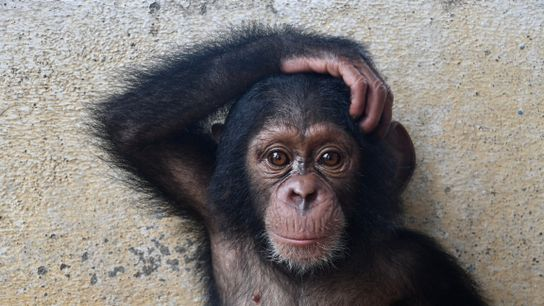 """""""Meet Gloria, one of Liberia Chimpanzee Rescue and Protection's (LCRP) family members. Gloria's mother was killed ..."""