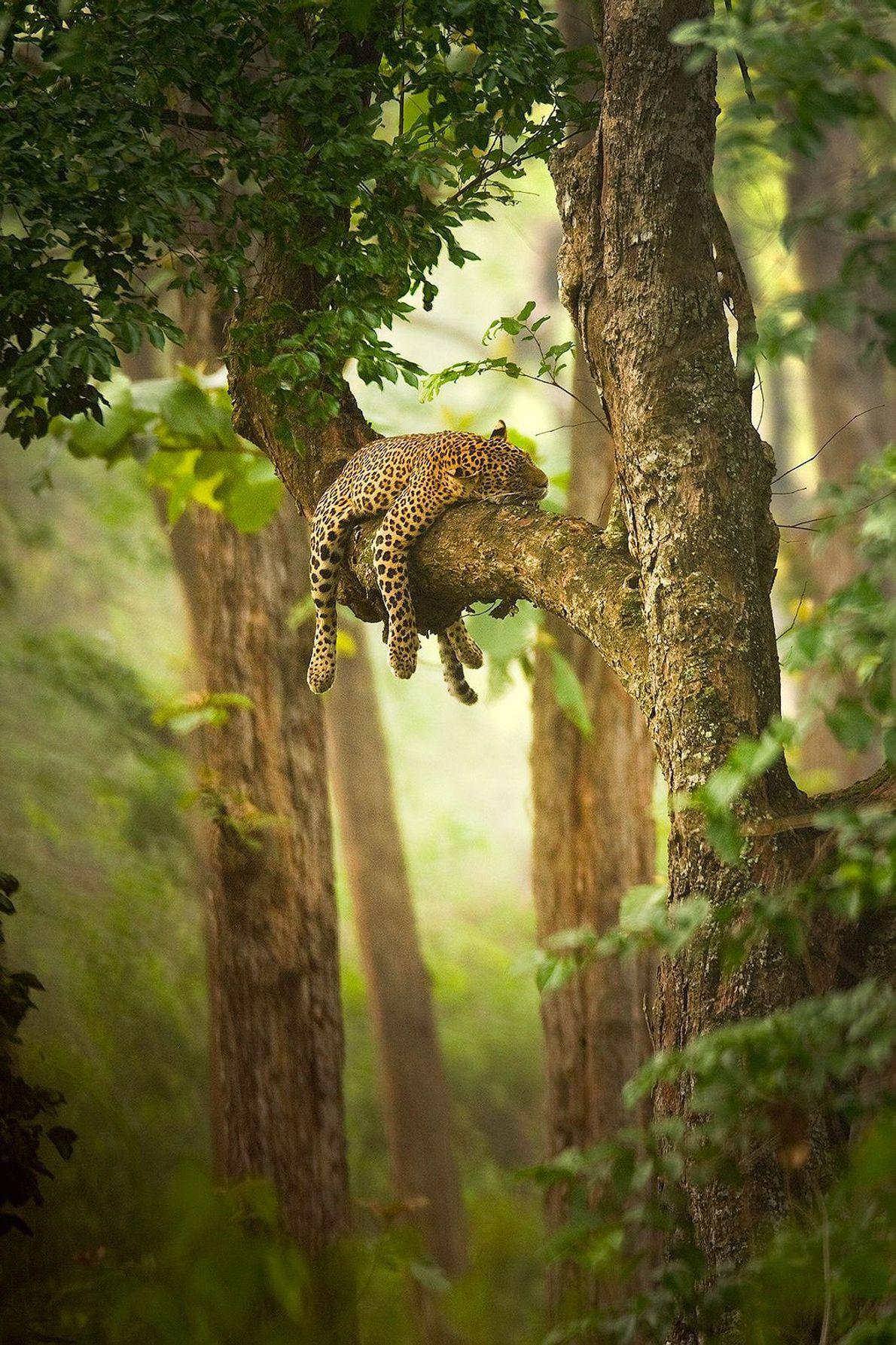 A slumbering leopard drapes itself across a tree branch.