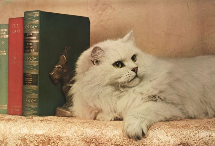 "A champion chinchilla Persian rests near a stack of books ""like a lordly little lion"" in ..."