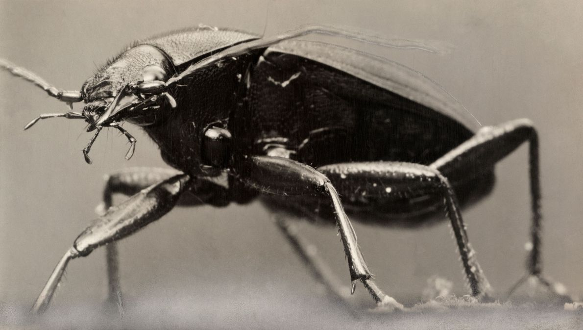 Ground beetles come in an diversity of colors—most are glossy and black, like this species, but ...