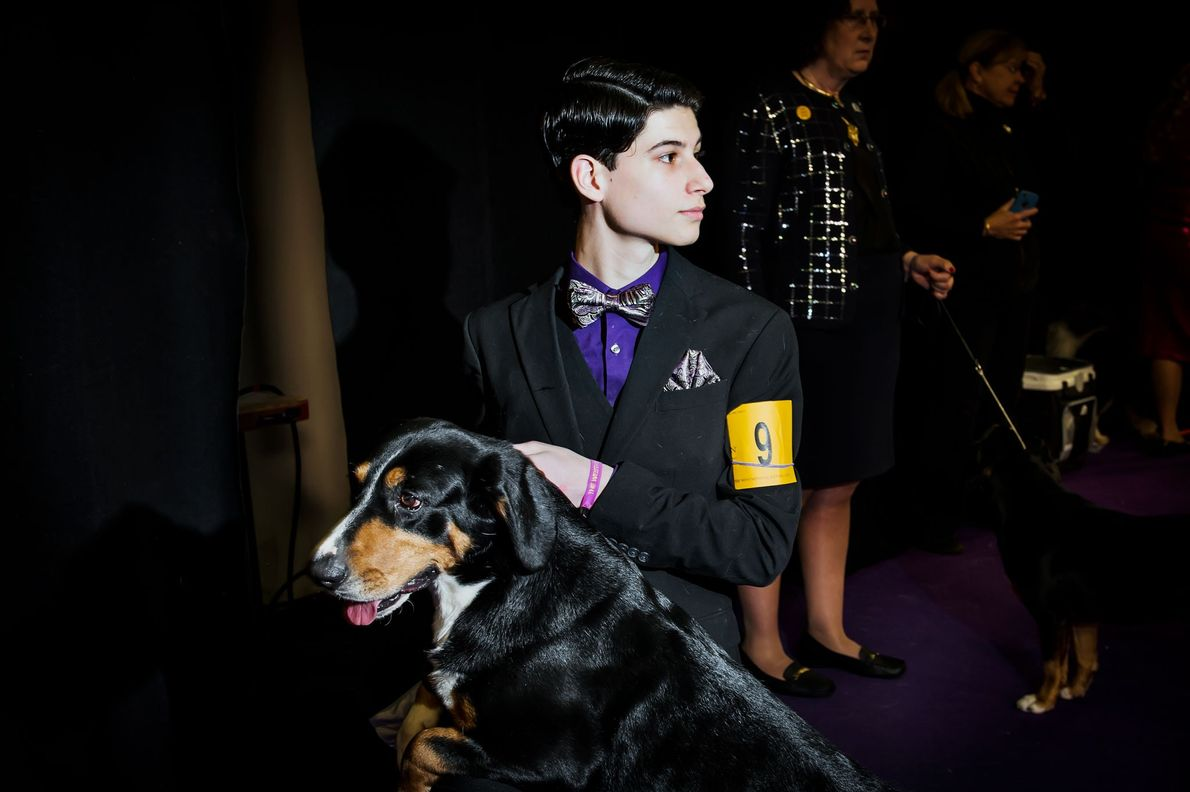 Arrietta, a four-year-old Entlebucher Mountain Dog, waits to be shown to judges.