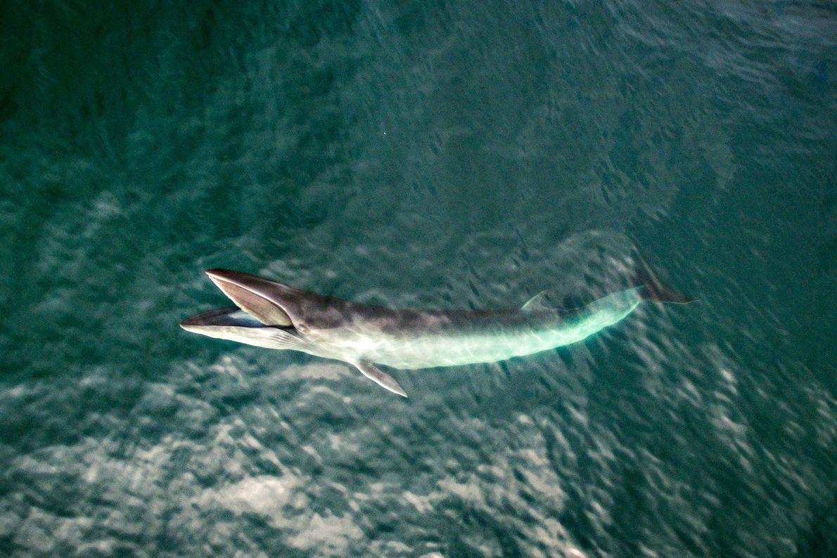 Minke feed near the surface of Cashes Ledge, a rich region of marine biodiversity within the ...