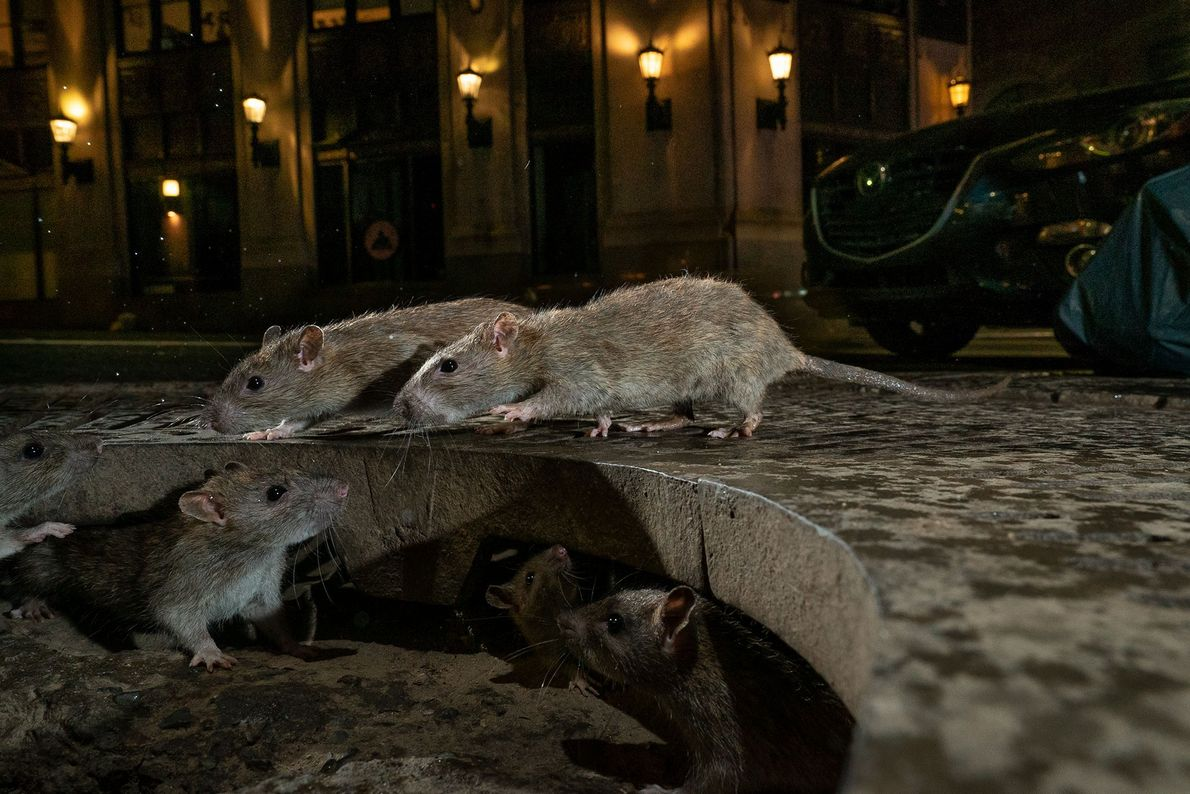 Charlie Hamilton James won the 'urban wildlife' category with his intimate portrayal of rats on the ...