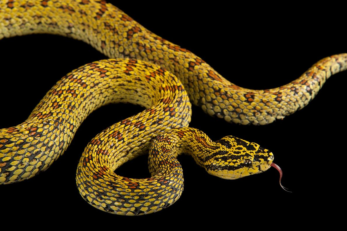 A red spotted pitviper, 'Trimeresurus jerdonii xanthomelas', at the Fort Worth Zoo.