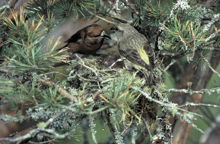 The Scottish crossbill is in danger of extinction due to climate change.