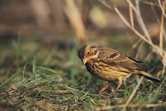 A corn bunting photographed as part of the Cornwall Corn Bunting Recovery Project, commissioned by the ...