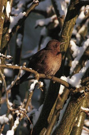 In winter, up to five million more blackbirds arrive in the UK from Scandinavia and the ...
