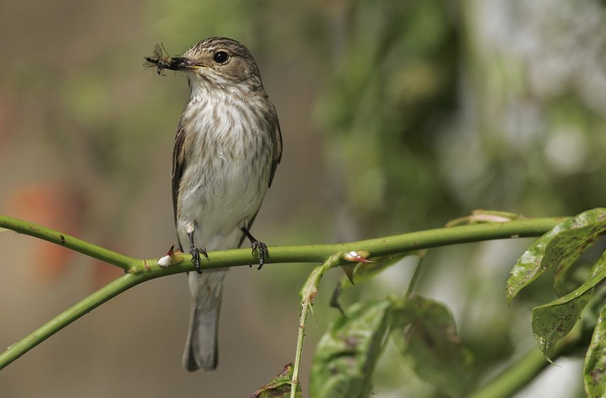 Spotted flycatcher is named – naturally – for its preferred prey, but this prey can range ...