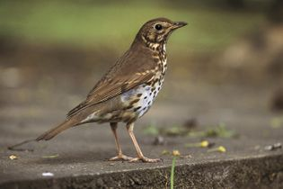 Evidence of the song thrush included its unique call, and broken snail shells on hard surfaces.