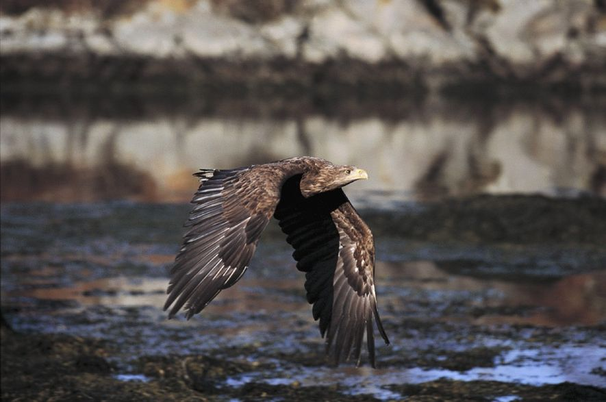 The sea eagle will swoop low over water looking for fish to catch. When fishing, they ...