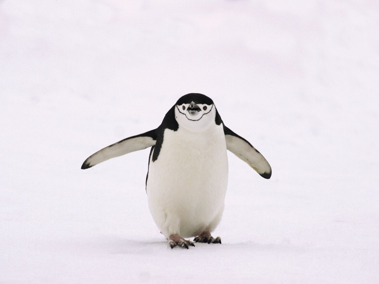 A lone chinstrap penguin walks on snow in the South Shetland Islands. The birds often slide ...