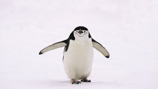 Chinstrap penguin: Bird of the Week