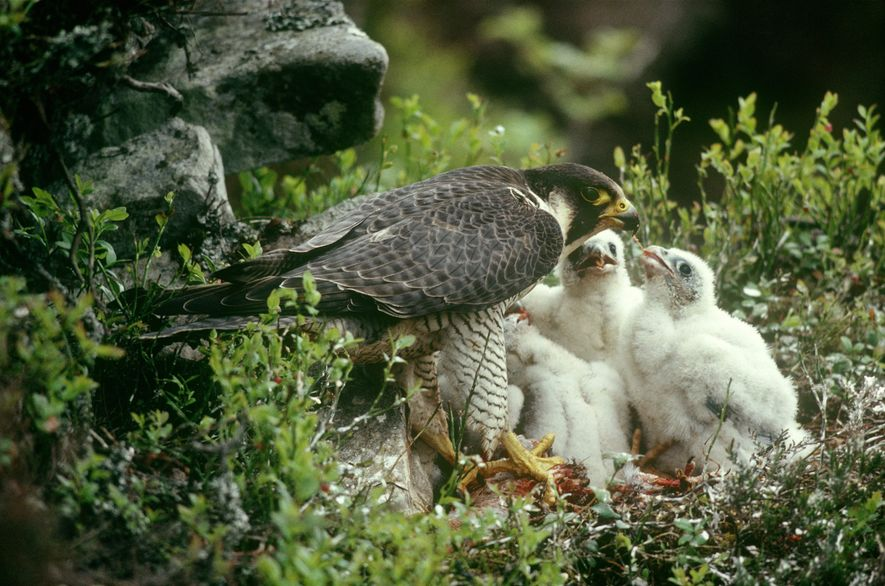 The peregrine falcon feeds primarily on other birds which it catches in flight often diving down ...