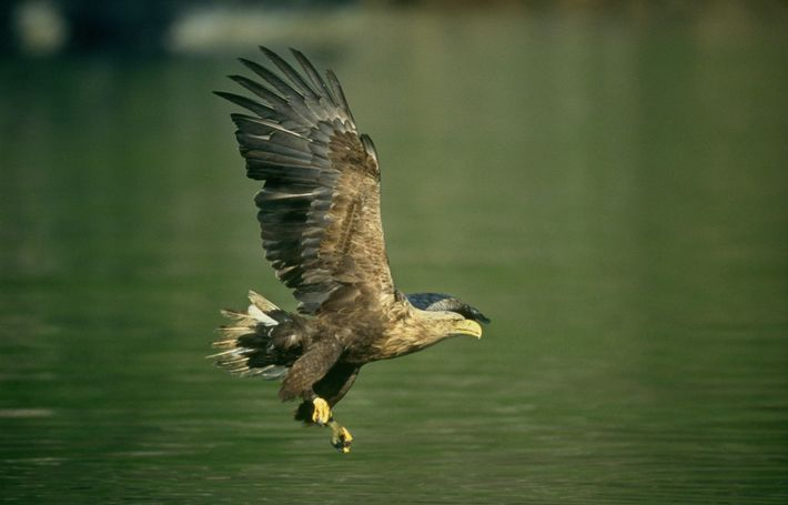 Sea Eagle, or white tailed eagle, swooping low over water in UK
