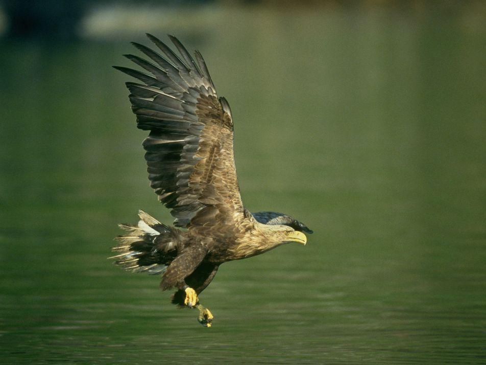Sea eagle: Bird of the Week