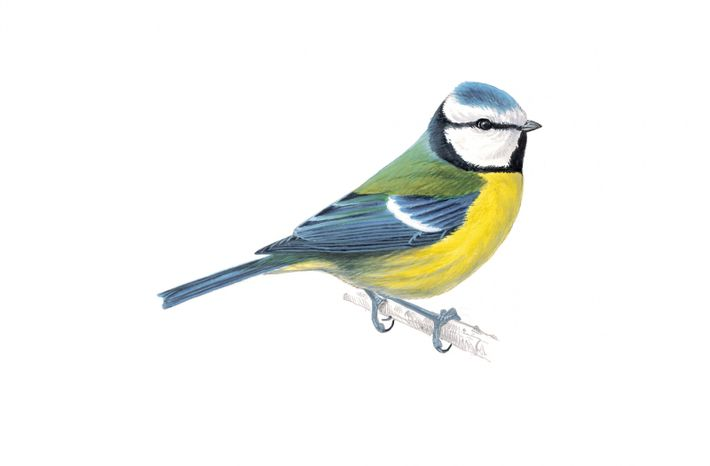 The blue tit is one of the most colourful of garden birds.