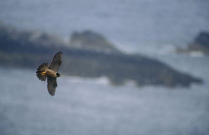 The peregrine falcon can achieve speeds of of over 100mph in a dive, making it one ...