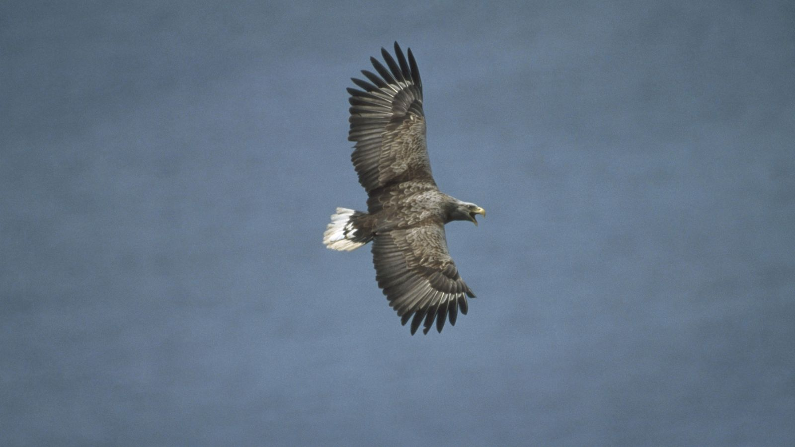 The sea eagle, or white-tailed eagle, is the UK's largest bird of prey with a wingspan ...