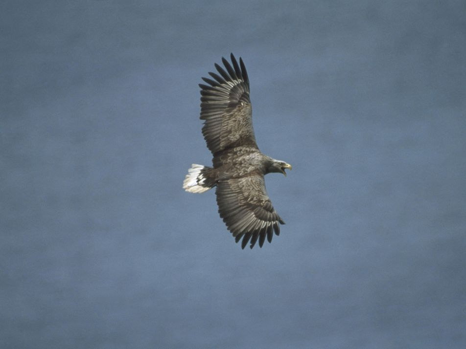 First sea eagle chick in Orkney for over 140 years
