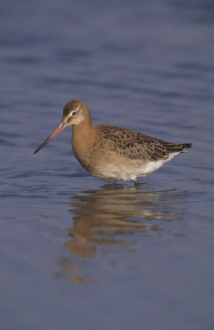 A wading godwits in summer plumage.