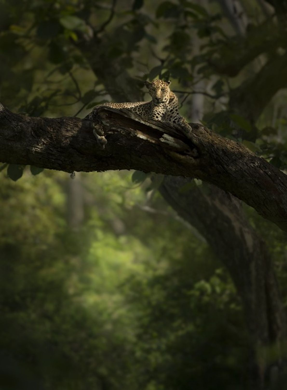 A male leopard relaxes high up on a tree branch. Accomplished climbers, leopards often haul kills ...