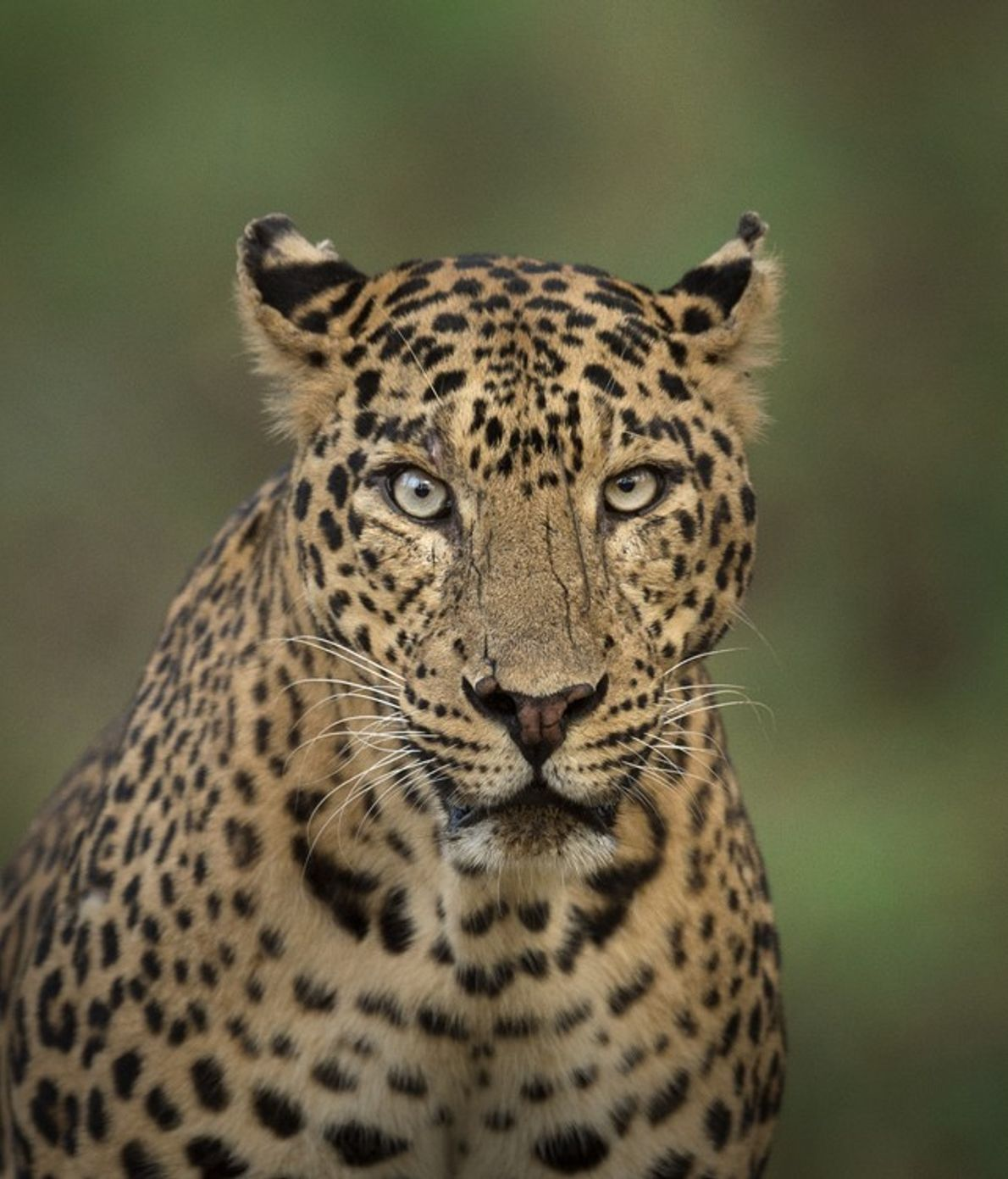 Considered amongst the most widespread of big cats, the leopard – which includes the Indian leopard ...