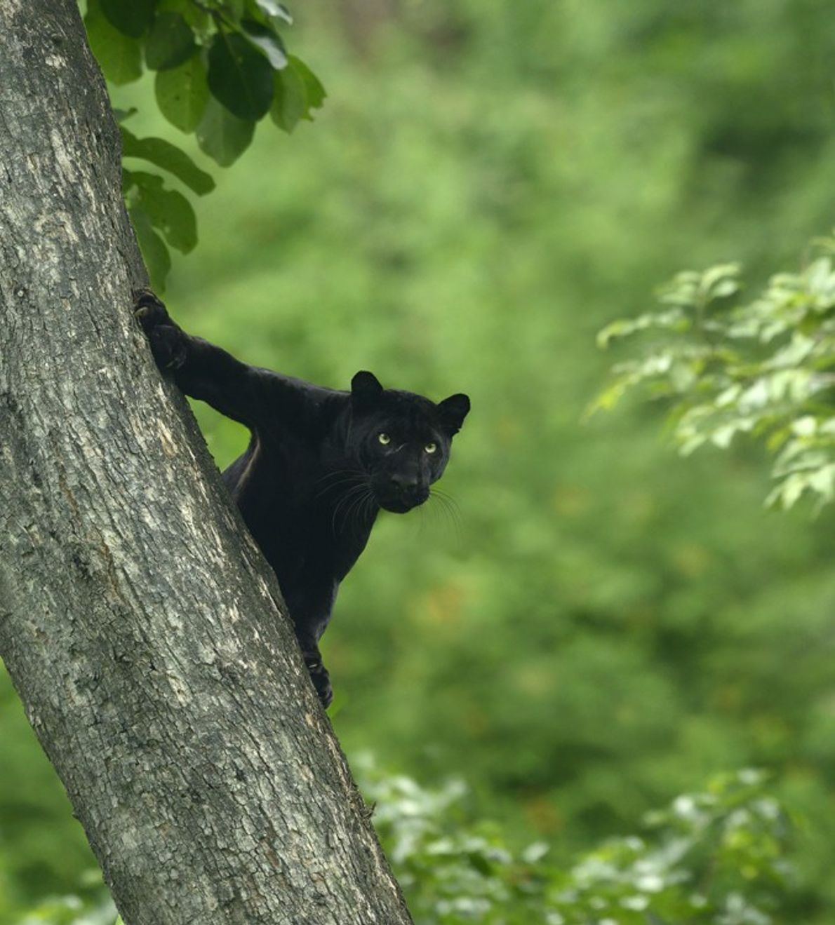 Black panthers aren't a separate species. The term is given to any black big cat of ...
