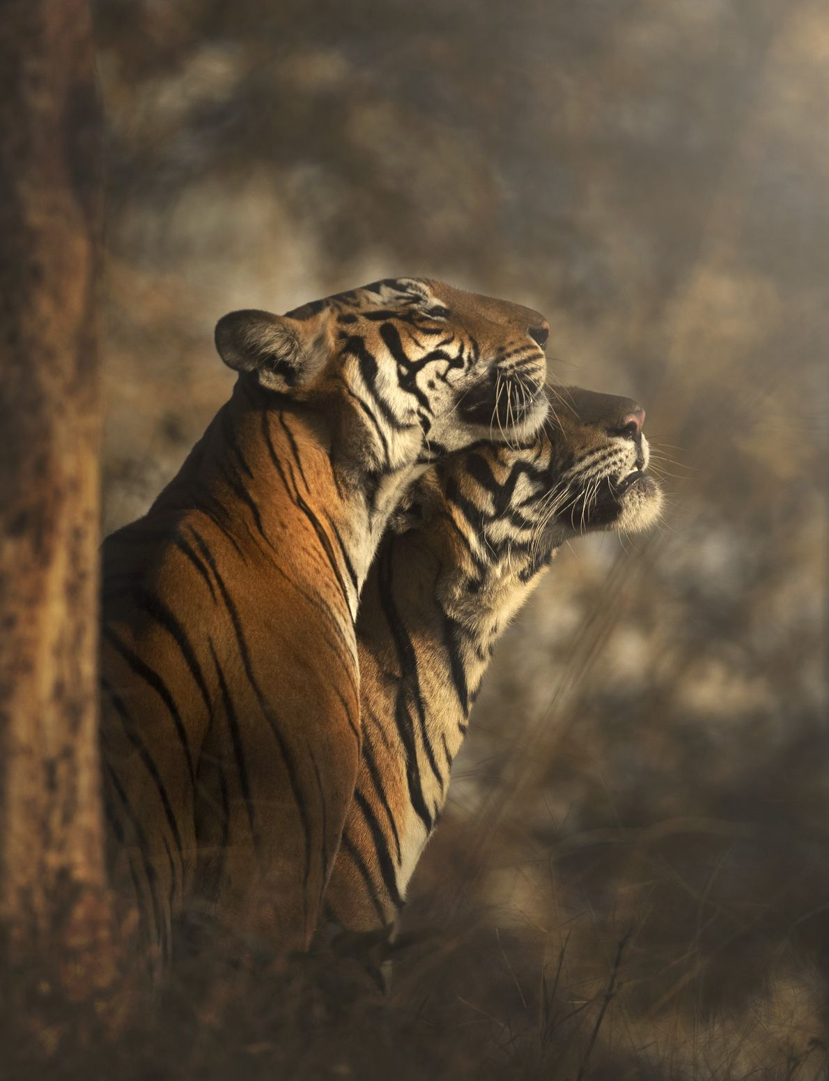 The Bengal tiger is amongst the biggest of wild big cats, outsized only by its northern ...