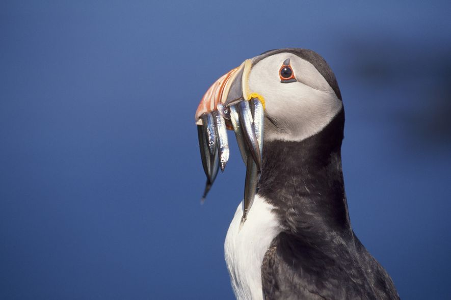 Experts predict that the UK could lose up to 8 million puffins over the next 50 ...