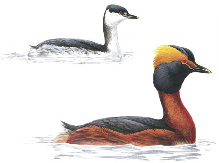 An illustration of the Slavonian grebe in summer and winter plumage.